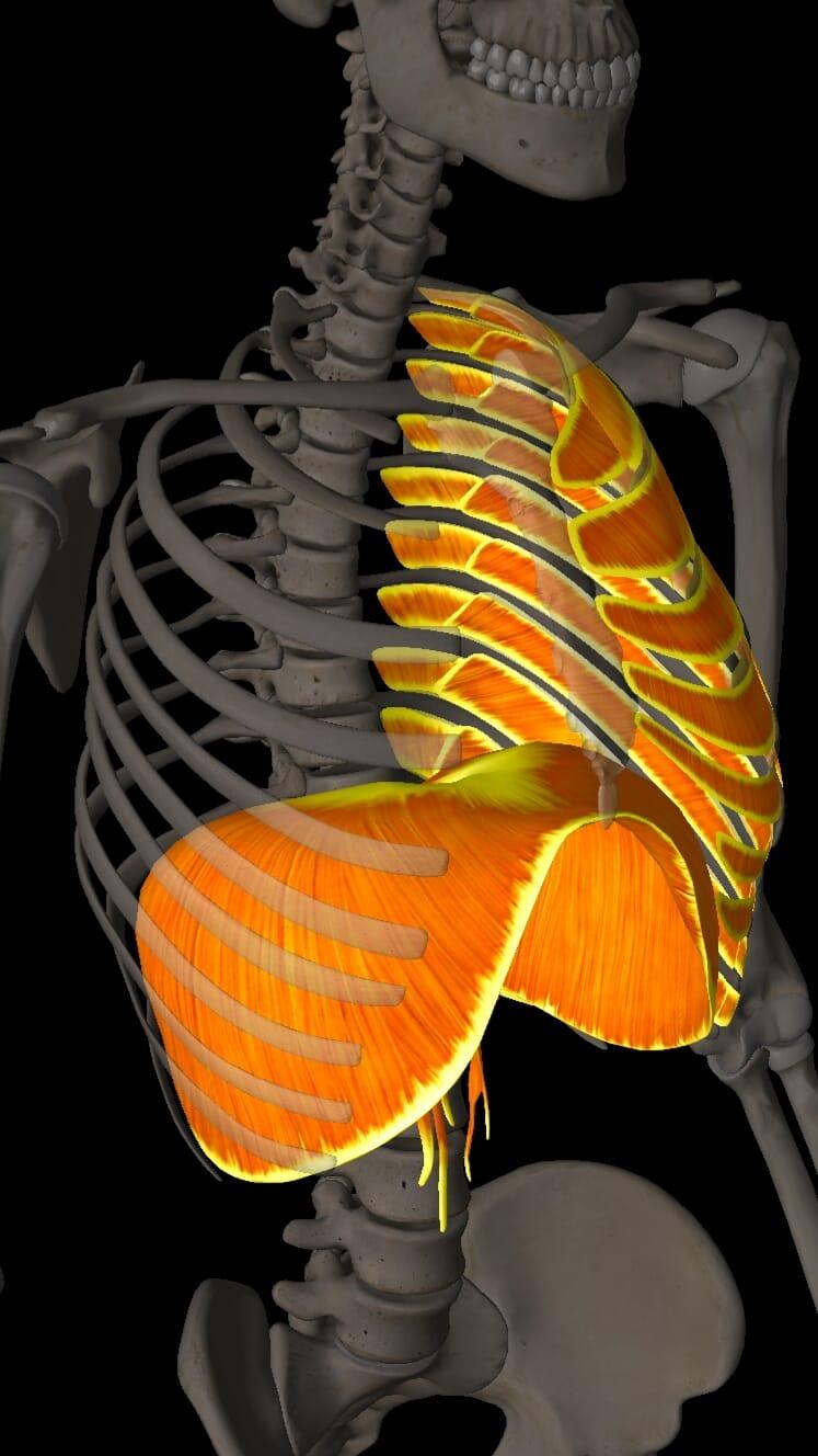 Diaphragm and Intercostals