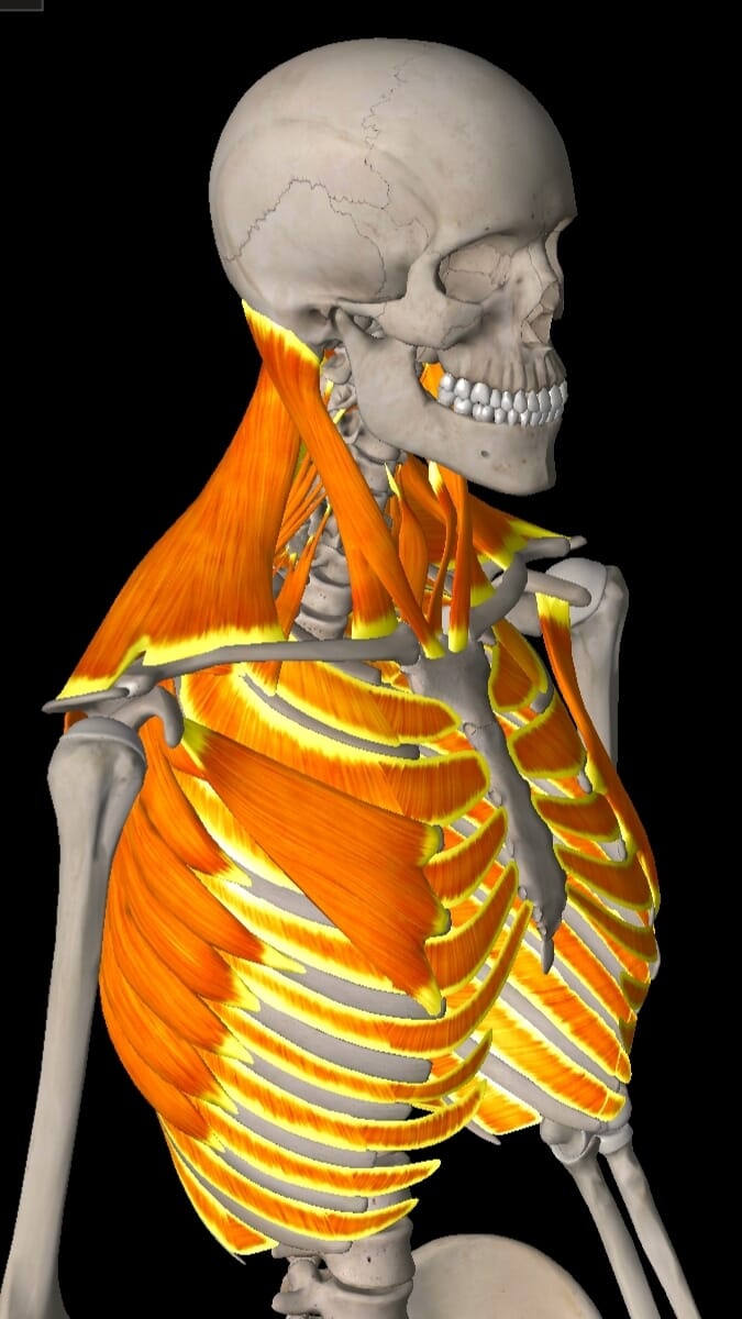 Secondary Respiratory Muscles